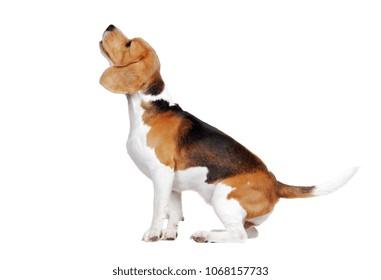 Barking beagle dog looking up isolated on white
