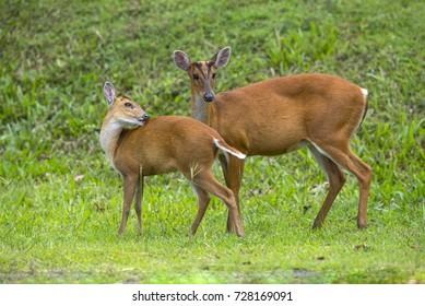 Barking deer (Muntjac) in nature