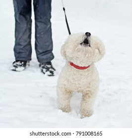 The barking dog of breed  Bichon Frise in a red collar against  ofowner's legs in the winter outdoor.