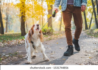 Barking dog on the leash outdoors. Russian spaniel at a walk misbehaving or being bad tempered