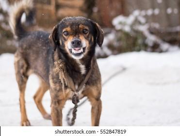Barking enraged angry dog outdoors.  looks aggressive, dangerous and may be infected by rabies. Angry dog in the snow. Furious dog. Angry and aggressive dog  showing teeth