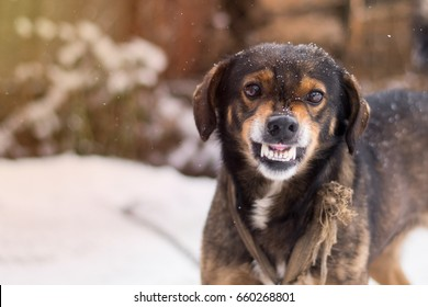 Barking enraged angry dog outdoors. The dog looks aggressive, dangerous and may be infected by rabies. Furious dog. Angry and aggressive dog  showing teeth