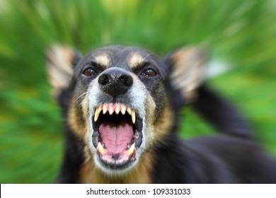 Barking enraged shepherd dog outdoors. The dog looks aggressive, dangerous and may be infected by rabies.