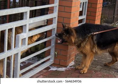 barking German shepherd dog in winter scenery