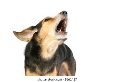 Barking mixed breed dog on white background.