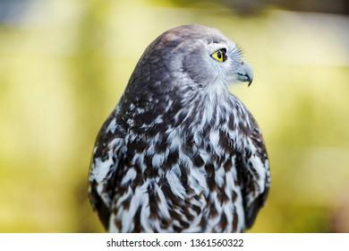 Barking owl with beautiful yellow eyes amongst nature.