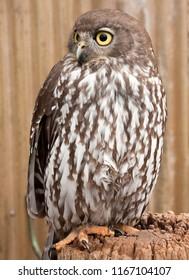 Barking owl, Ninox connivens, perched on tree stump