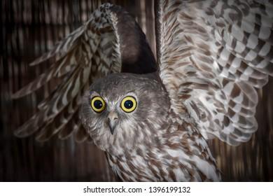Barking Owl, Owl, Talons, Nocturnal, Birds, Bird, Feathers, Feather, Predator, Predators, Flight, Wings, Eyes, Closeups,