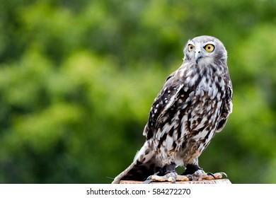 Barking owl upright