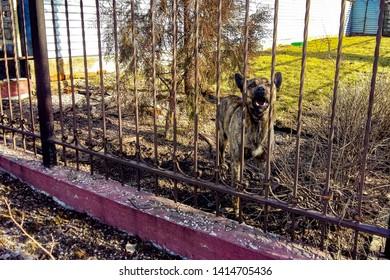 Barking shepherd dog behind a forged fence.