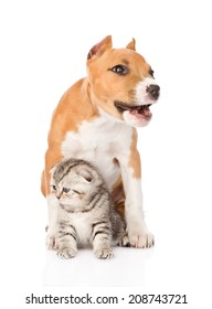 barking stafford puppy dog and small cat sitting together. isolated on white background