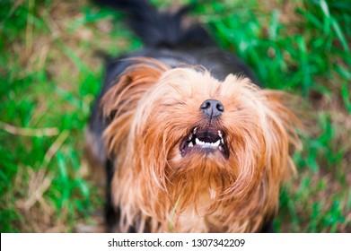 Barking yorkshire terrier