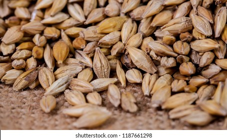Barley beans. Grains of malt close-up. Barley on sacking background. Food and agriculture concept. Hops
