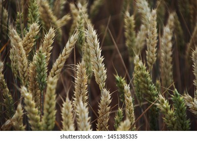 Barley before the harvest in the field