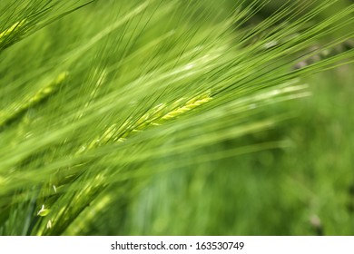 Barley close up with a green background