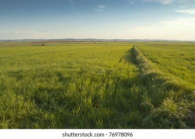 Barley crop in Ciudad Real province, Spain