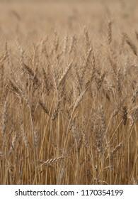 Barley crop in field