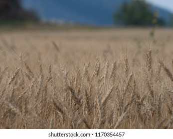 Barley crop in field