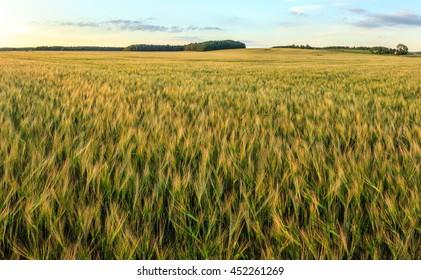 Barley crop field