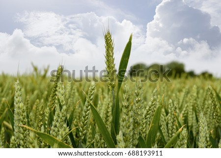 barley crop on an irish farm