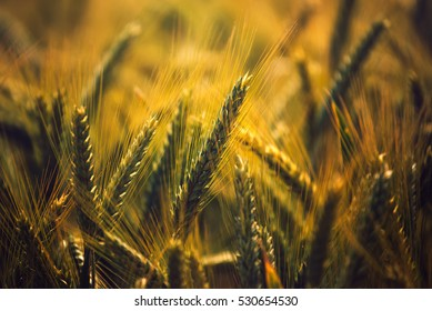 Barley crops field detail, grain cereals growing in cultivated field