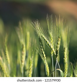 Barley field agriculture.