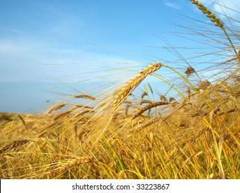 barley field with a blue sky
