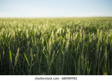 Barley field with Blue Sky
