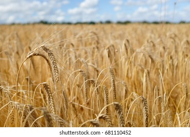 Barley in field with blue sky