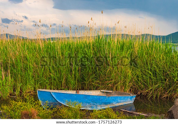 Barley field with blue sky and blue boat. Blue abandoned boat on a swampy lake. Green barley grain. Sea oats meadow.