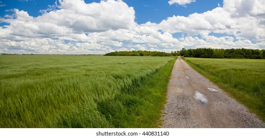 Barley field with blue sky and clouds