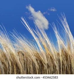 Barley field in Denmark.