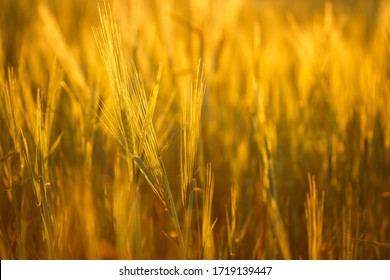 Barley field in golden glow of evening sun.