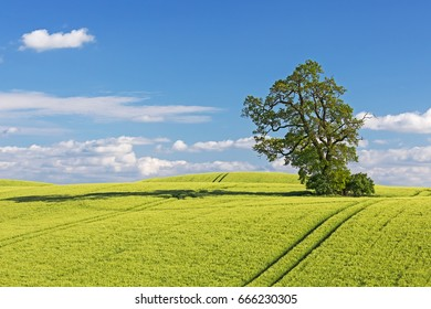 Barley field with oak in spring in the Holsteinische Schweiz in Schleswig-Holstein, Germany, with copy space.