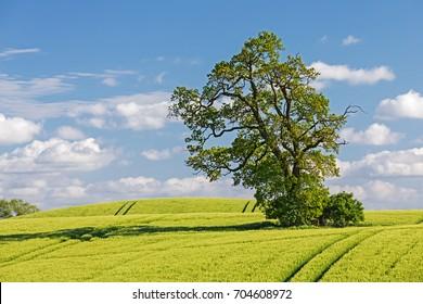 Barley field with oak in springtime in Schleswig-Holstein, Germany.