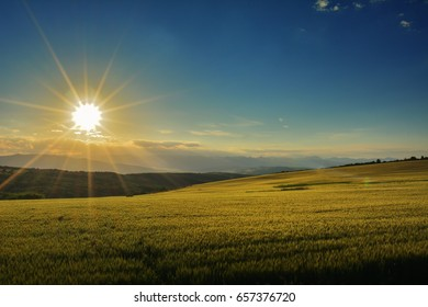barley field on sunset