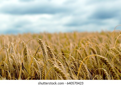 Barley Field in period harvest on background cloudy sky. Barley field detail. Close up.