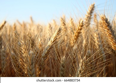 Barley  field in summer
