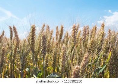 Barley field in summer. Harvest concept