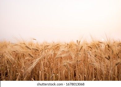 Barley field in summer.Harvest and food concept