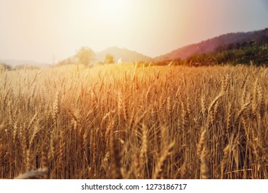 Barley in the golden-yellow farm is beautiful and waiting for harvest in the season.