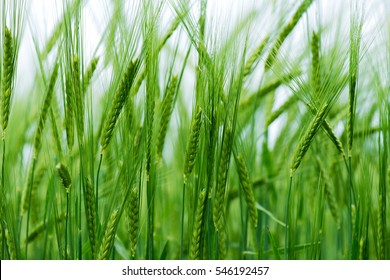 Barley grain is used for flour, barley bread, barley beer, some whiskeys, some vodkas, and animal fodder.