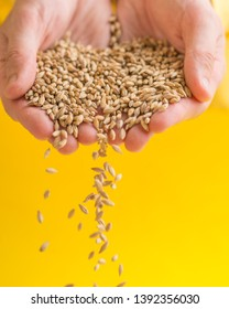barley grains are piled up on a yellow background