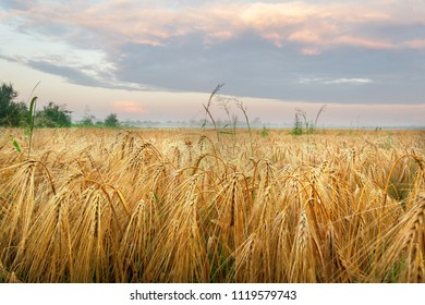 Barley (hordeum) colossus on the field. Beautiful summer morning scenery.