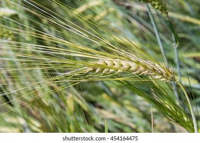 Barley (Hordeum vulgare)