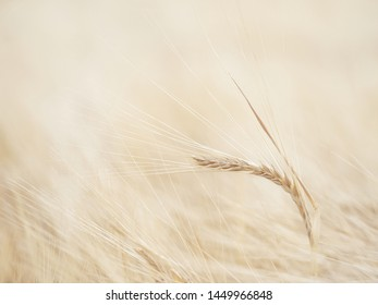 Barley (Hordeum vulgare L.), a member of the grass family, is a major cereal grain grown in temperate climates globally. Poaceae family