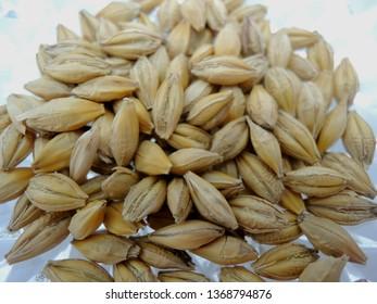Barley (Hordeum vulgare) Organic Barley seeds isolated