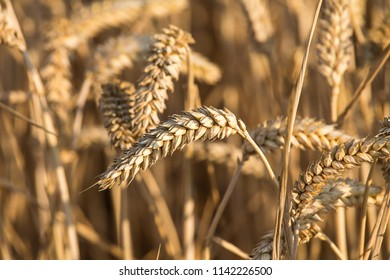 barley rice grass field with filter vintage warm tone color.