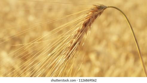 Barley spike in close-up