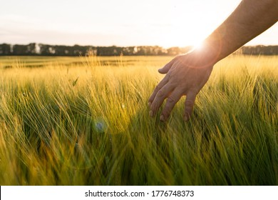 Barley sprouts in a farmer's hand.Farmer Walking Through Field Checking barley Crop.
